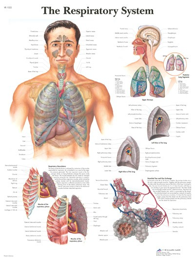 Wandkaart: The Respiratory System